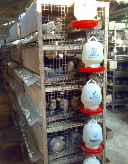 obat penggemuk sapi tradisional